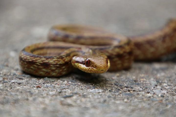 Des serpents aident à mesurer les niveaux de radiation à Fukushima
