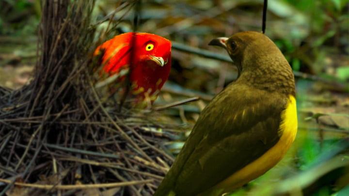 un oiseau rouge et un oiseau jaune